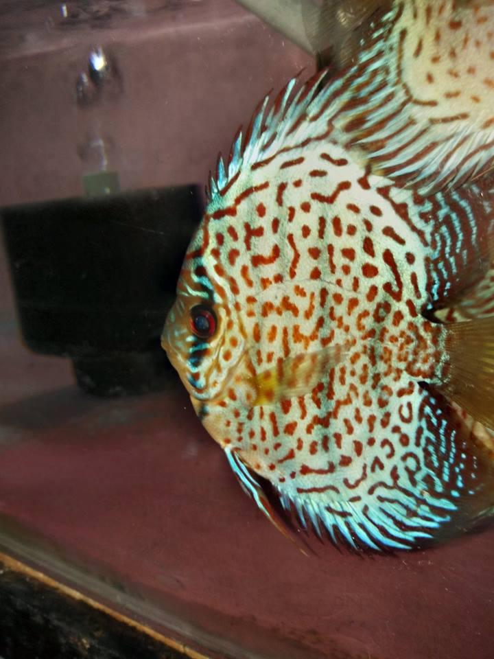 Discus Wholesale Indonesia Tropical Fish Aquarium Fish