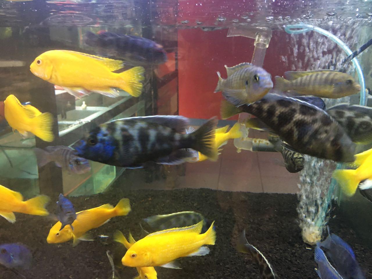 Cichlids Wholesale Indonesia Tropical Fish Aquarium