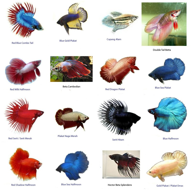 Bettas wholesale indonesia tropical fish aquarium fish for Beta fish names