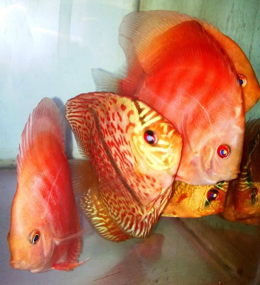 Discus wholesale indonesia tropical fish aquarium fish for Rare freshwater aquarium fish