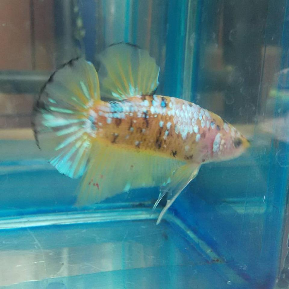 Freshwater aquarium fish exporters - Betta Giant Yellow Galaxy