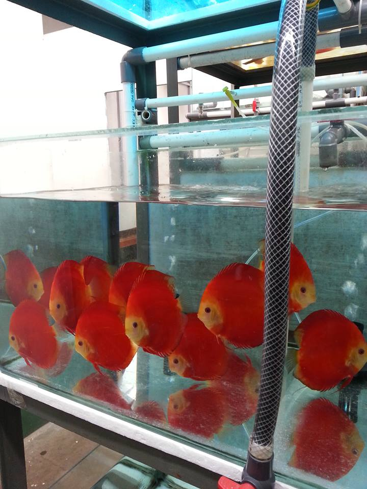 Discus | WHOLESALE INDONESIA TROPICAL FISH / AQUARIUM FISH