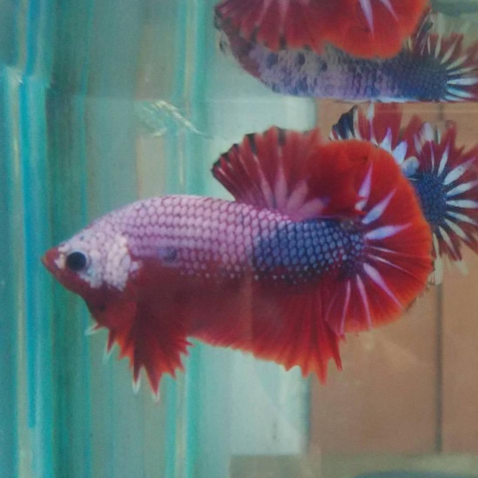 Bettas Wholesale Indonesia Tropical Fish Aquarium Fish