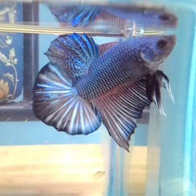 PK Blue