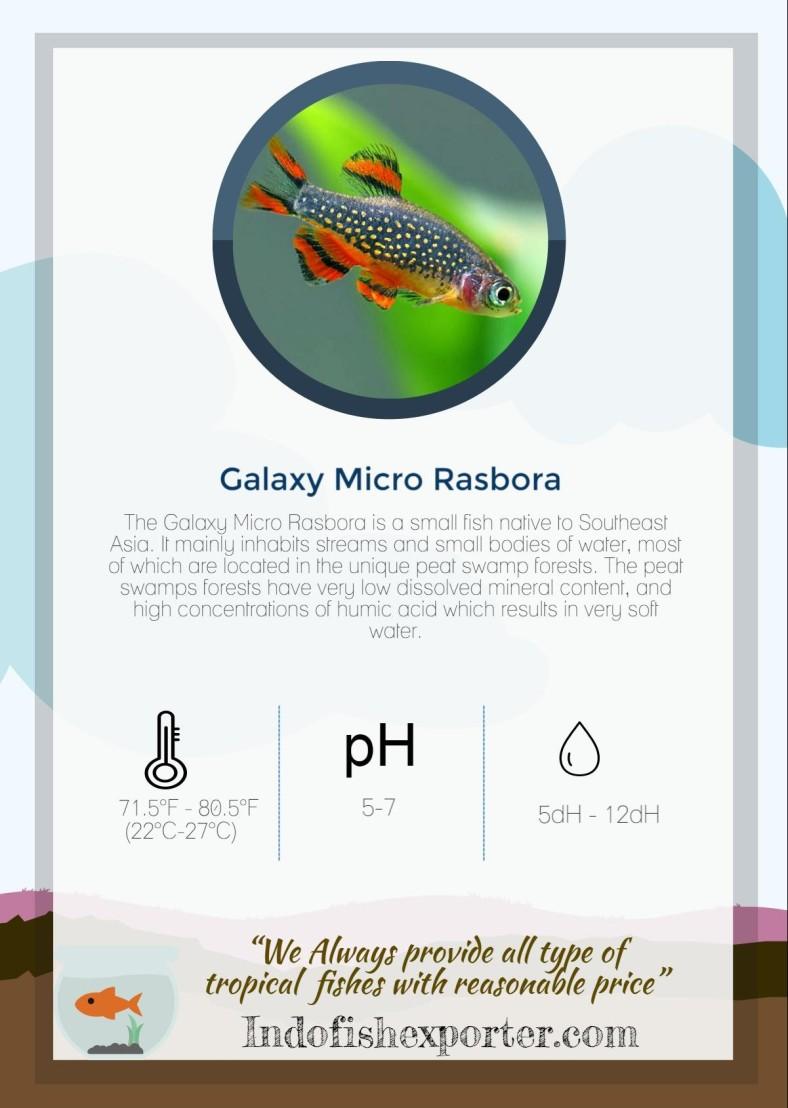 galaxy-micro-rasbora