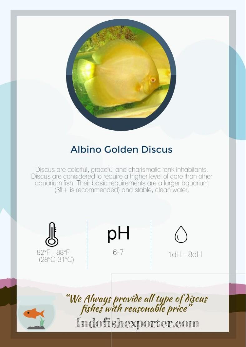 albino-golden-discus