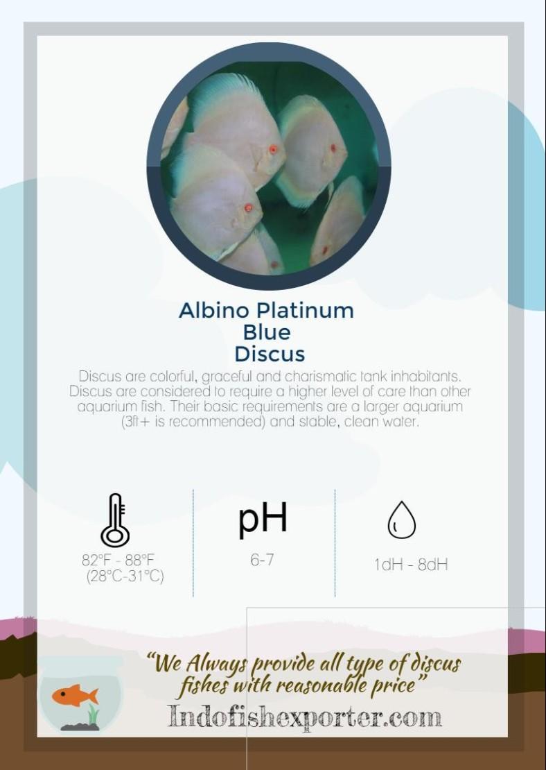 albino-platinum-blue-discus