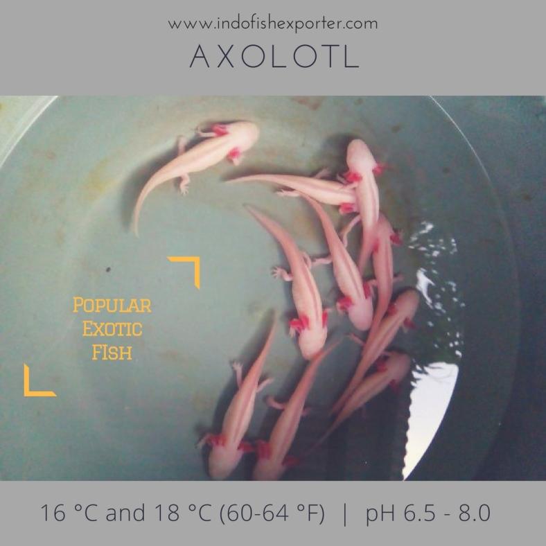 axolotl 2.jpg