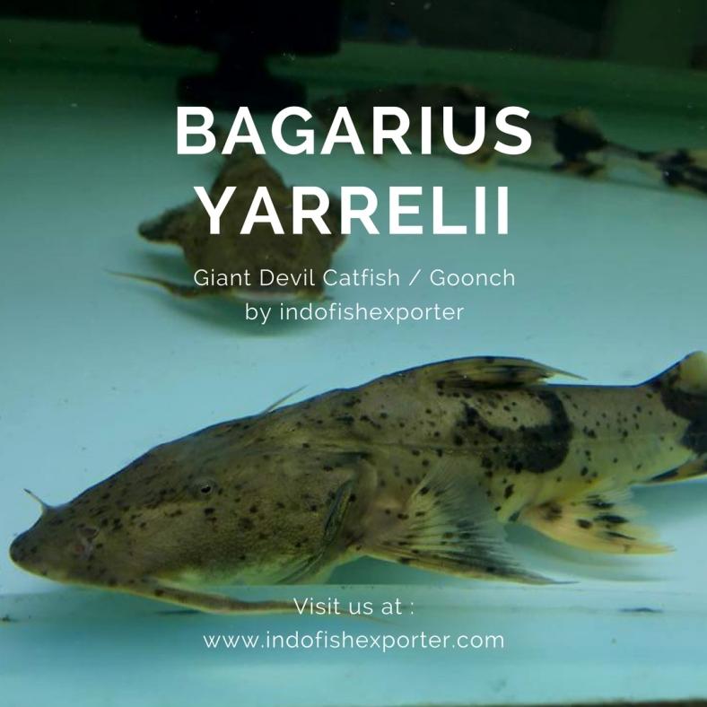 bagarius 2.jpg
