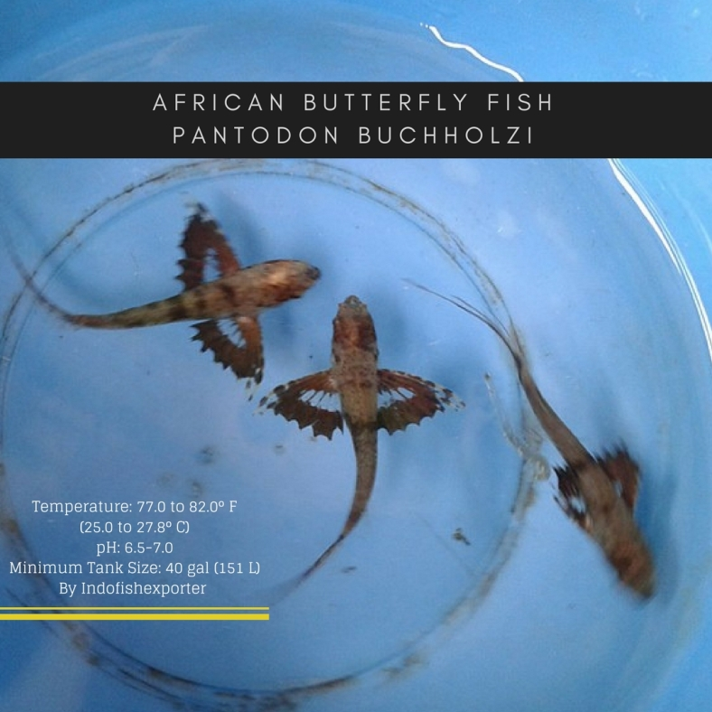 butterfly fish 2.jpg