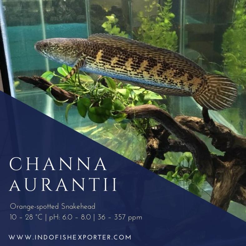 Channa Aurantii.jpg