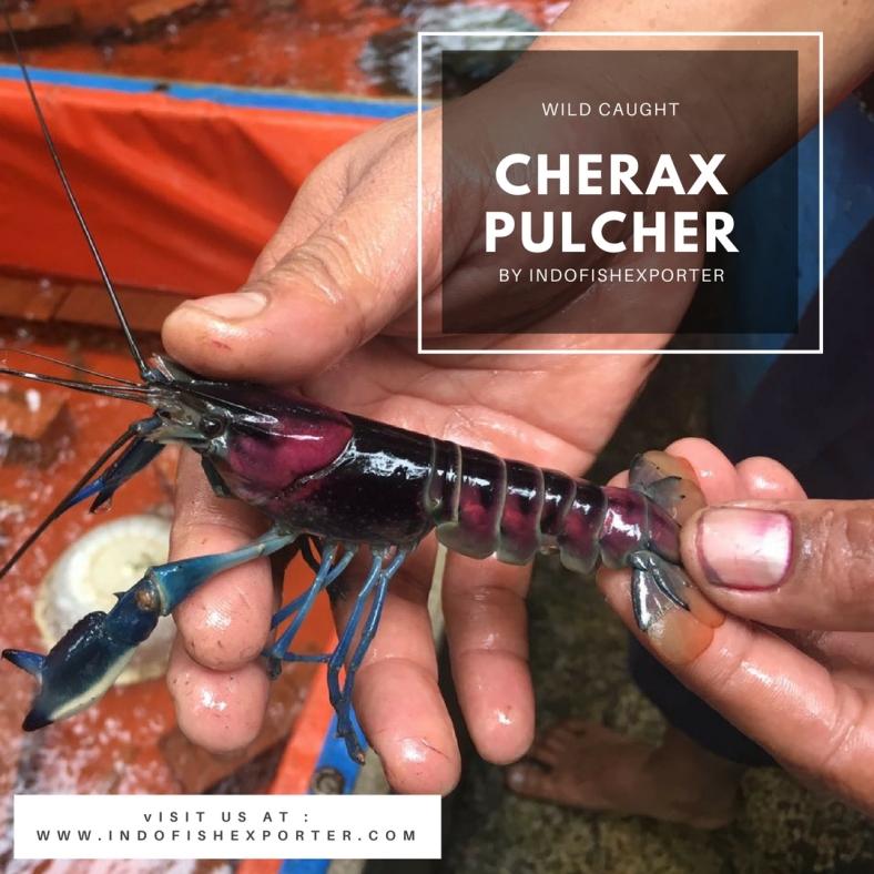 cherax pulcher 2
