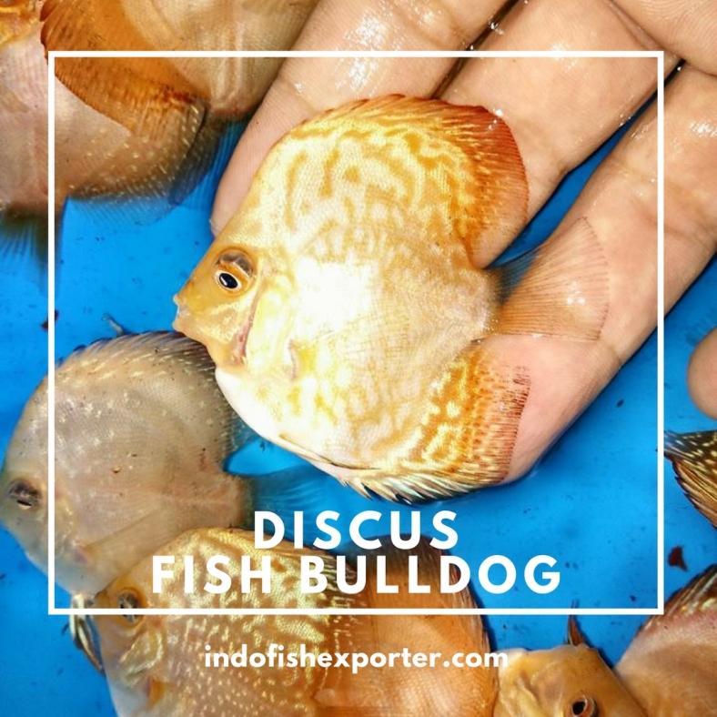 discus fish bulldog.jpg