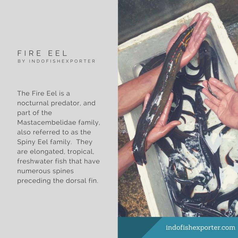 fire eel 3.jpg