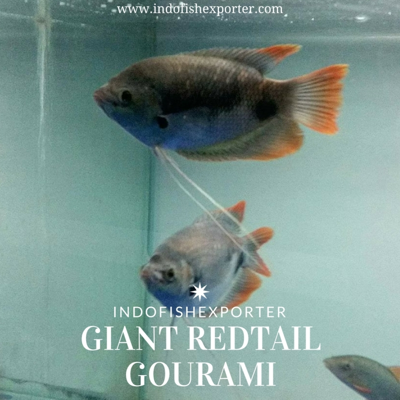 giant redtail gourami 2.jpg