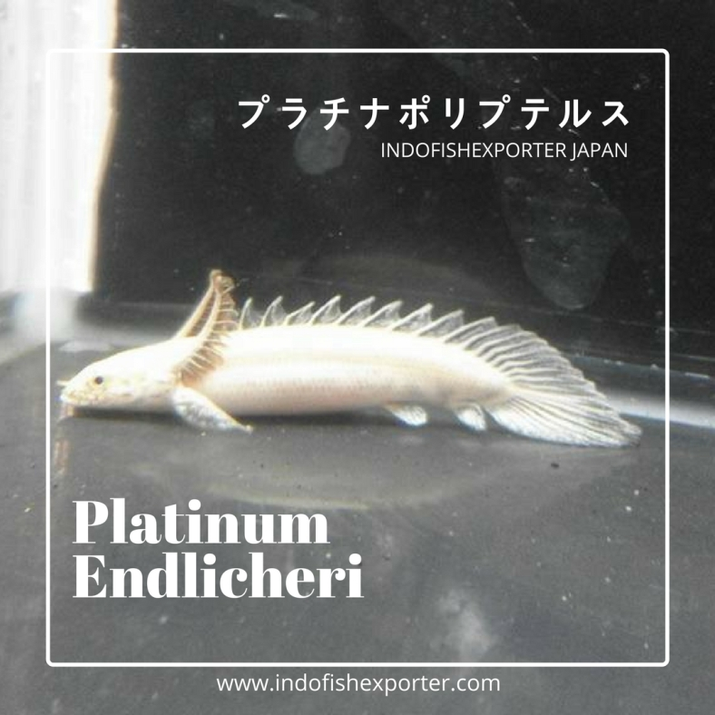 platinum endlicheri 4.jpg