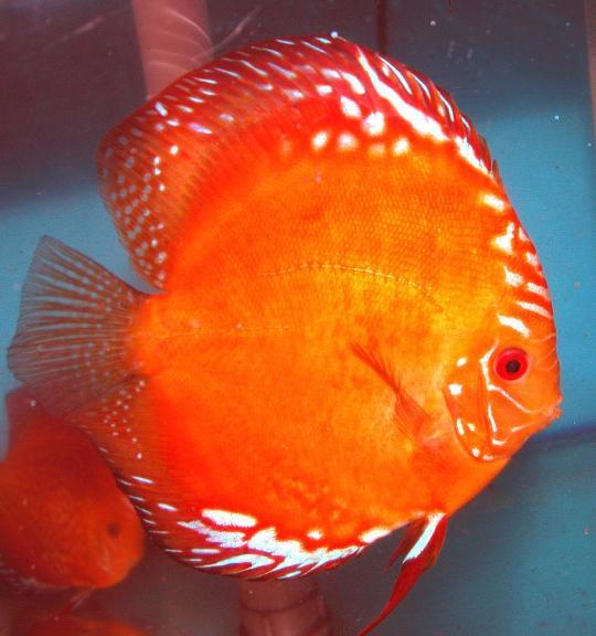 Red Marlboro Discus Indonesia Fish Exporter