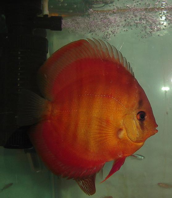 Discus fish cost discus fish price list 2017 fish tank for Discus fish price
