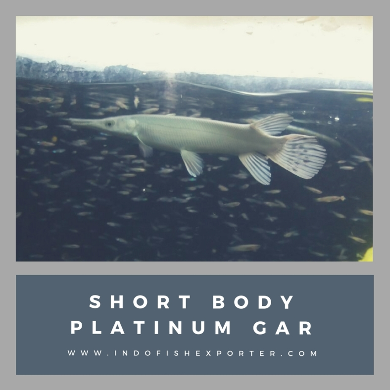 SHORT BODY PLATINUM GAR 2.jpg
