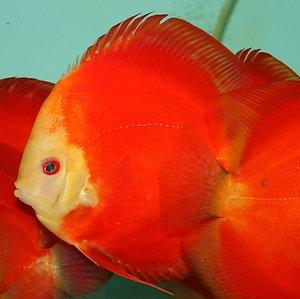 Super Red Melon Discus Indonesia Fish Exporter