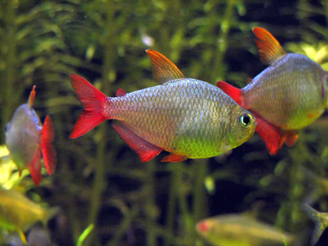 Colombian tetra hyphessobrycon columbianus wholesale for Community fish list