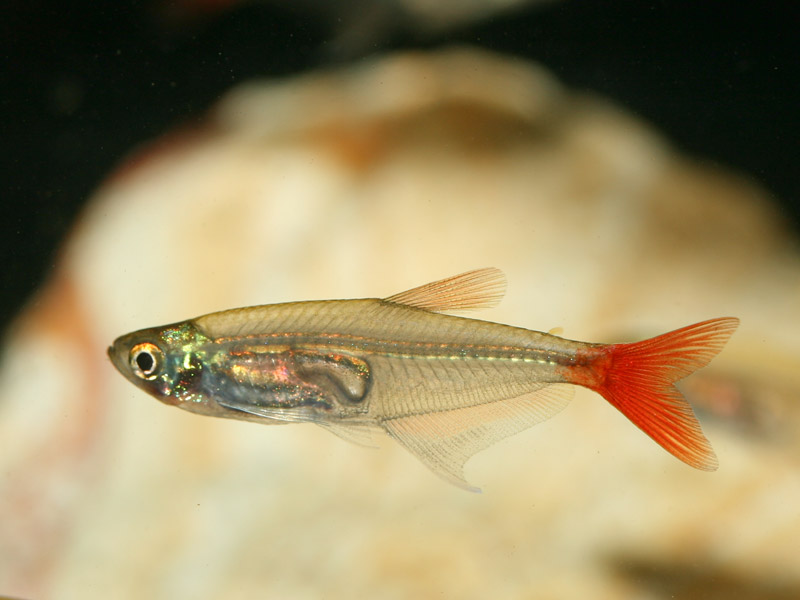 Glass bloodfin tetra prionobrama filigera wholesale Freshwater fish with red fins