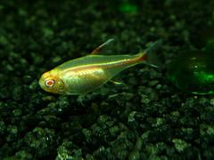 Glowlight Albino Tetra | Indonesia Fish Exporter