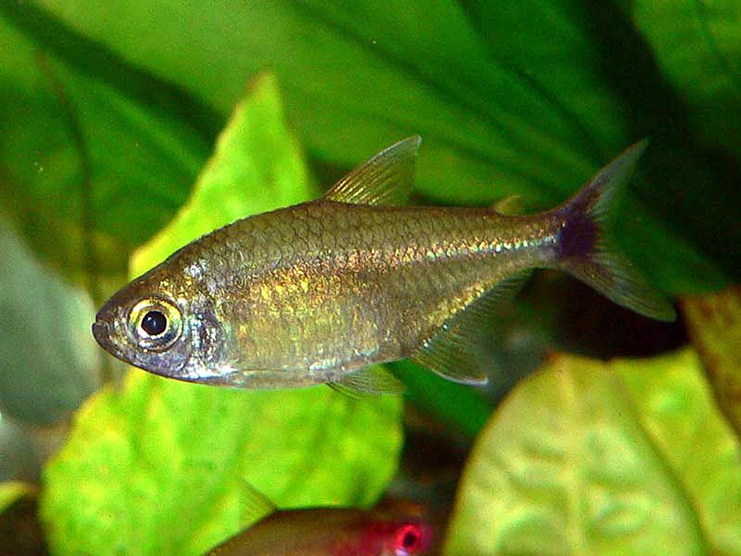Gold tetra hemigrammus rodwayi wholesale indonesia for Wholesale tropical fish