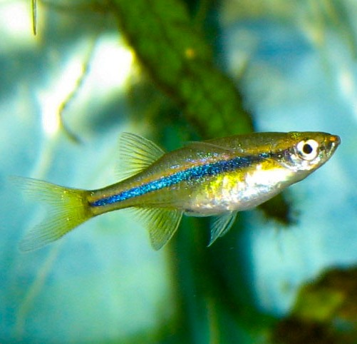 Orange chela tetra wholesale indonesia tropical fish for Wholesale tropical fish