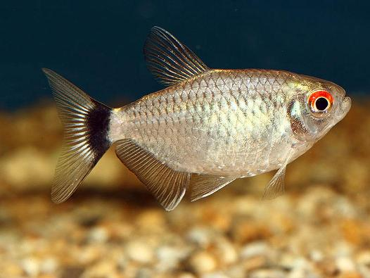 Red Eye Tetra