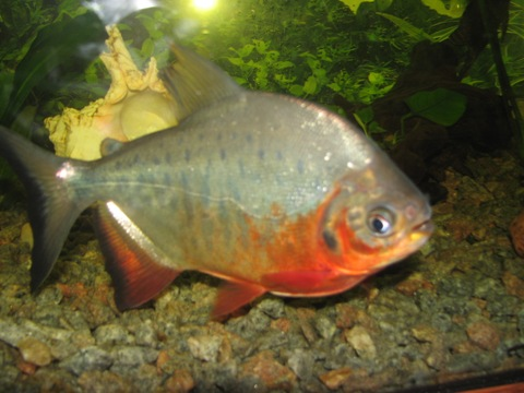Red Pacu Tetra