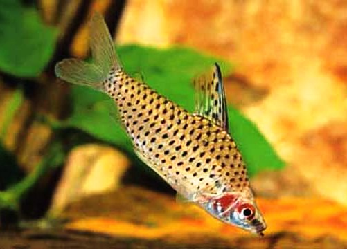 Spotted Headstander Tetra