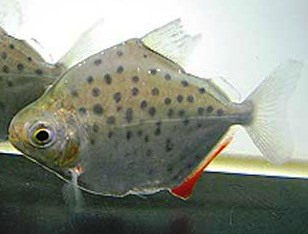 Spotted Silver Dollar Tetra