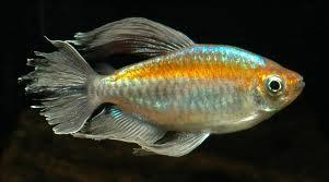 Yellow Congo Tetra | Indonesia Fish Exporter Yellow Tetra Fish
