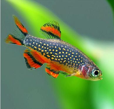 Galaxy Micro Rasbora Indonesia Fish Exporter