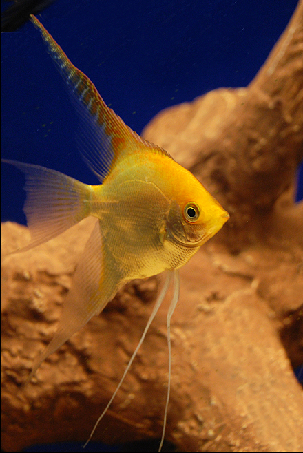 Golden Angelfish | Veiltail Gold Angelfish Wholesale Indonesia Tropical Fish