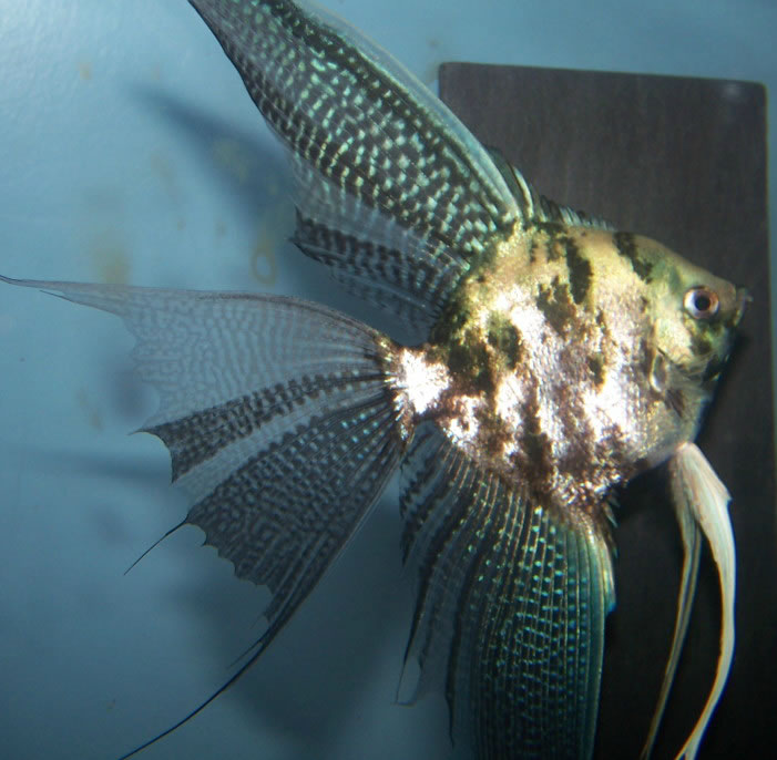 Veiltail leopard angelfish wholesale indonesia tropical for Wholesale tropical fish