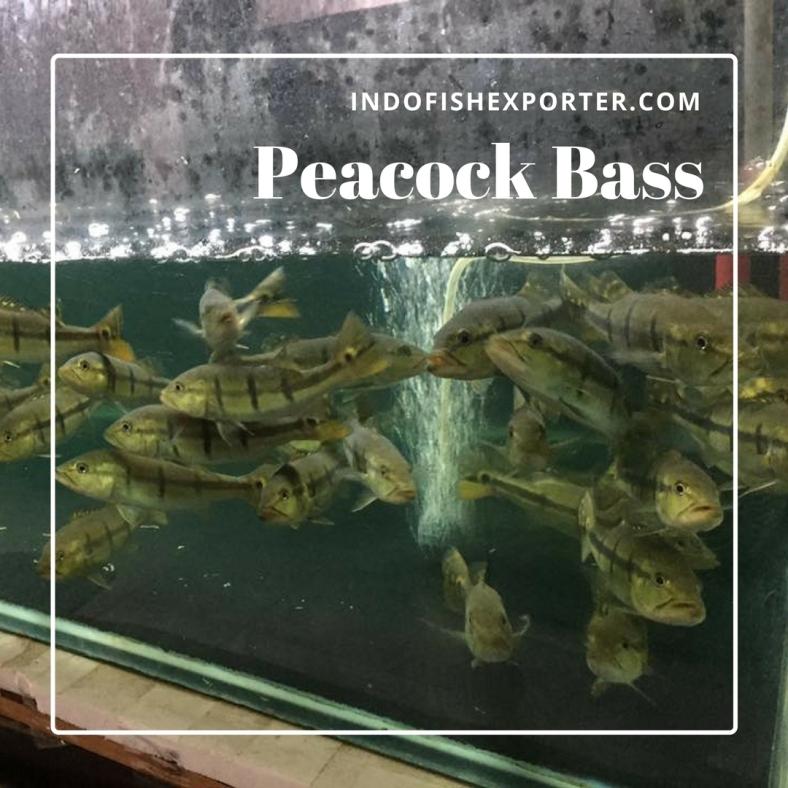 peacock bass 2.jpg