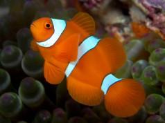 Golden Spine-Cheeked Anemonefish