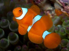 Golden Spine-Cheeked Anemonefish
