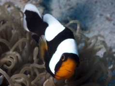 Indonesian Saddleback Anemonefish