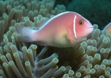 Pink Skunk-Striped Anemonefish