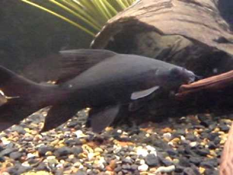 Black Shark Morulius Chrysophekadion Wholesale Indonesia