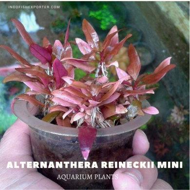 Alternanthera Reineckii Mini plants, aquarium plants, live aquarium plants