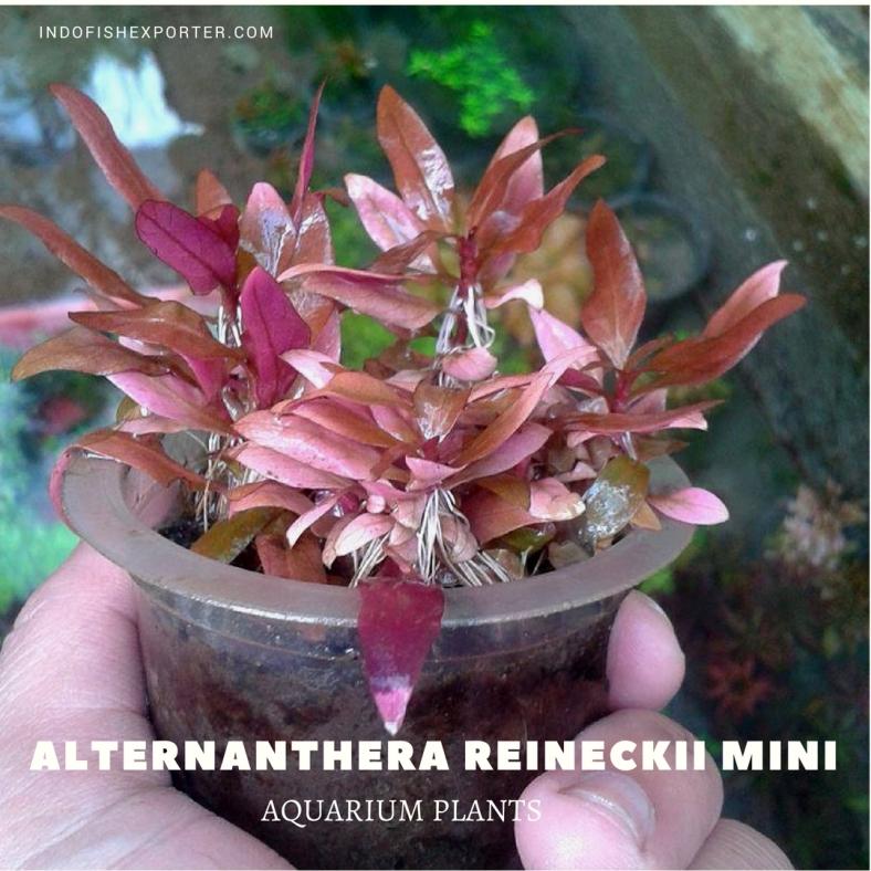 Alternanthera Reineckii Mini plants