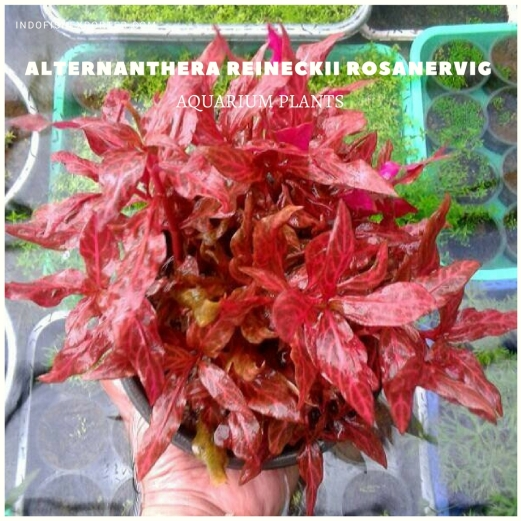 Alternanthera Reineckii Rosanervig plants, aquarium plants, live aquarium plants
