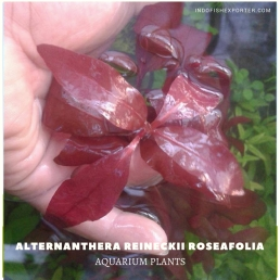 Alternanthera Reineckii Roseafolia plants, aquarium plants, live aquarium plants