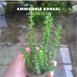 Ammannia Bonsai plants, aquarium plants, live aquarium plants