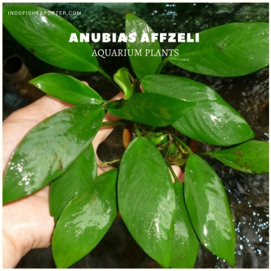 Anubias Affzeli plants, aquarium plants, live aquarium plants