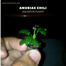 Anubias Chili plants, aquarium plants, live aquarium plants
